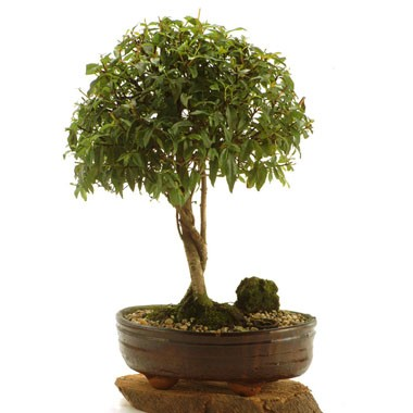Bonsai for Bonsai costo