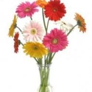 Una docena de Gerberas Daisies en florero