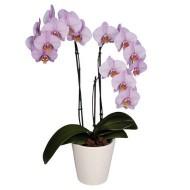 Planta de Orquídeas